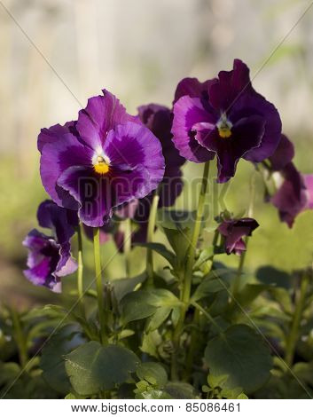 Beautiful Pansy Violet Color Grow In The Garden.
