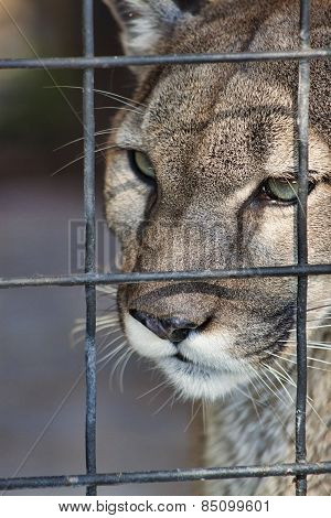 Panther in Prison