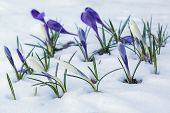 stock photo of early spring  - White and purple crocuses growing on a snow - JPG
