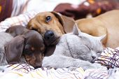 stock photo of sleeping beauty  - British cat  and dog dachshund - JPG