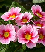 picture of primrose  - Close up Attractive Fresh Pink Flowers of a Primrose Plant with Green Leaves - JPG
