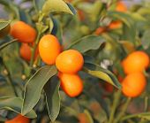 picture of orchard  - orange kumquat fruit on the tree in the Orchard - JPG