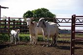 picture of zebu  - Zebus in Costa Rica - JPG
