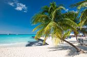 picture of caribbean  - Coconut palm on caribbean beach Cancun Mexico