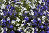 foto of lobelia  - Floral background of blue and white flowers lobelia - JPG
