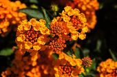 stock photo of lantana  - Beautiful Colorful Hedge Flower Weeping Lantana Lantana camara Linn - JPG