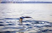 stock photo of whale-tail  - Diving humpback whale - JPG