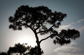 stock photo of pinus  - The silhouette of a Sand Pine tree - JPG