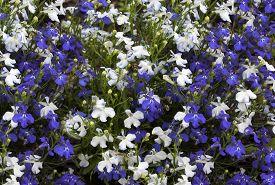 stock photo of lobelia  - Floral background of blue and white flowers lobelia - JPG