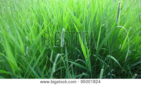 Weed Grass Composition