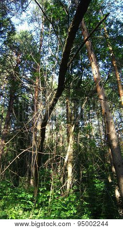 Forest Thicket