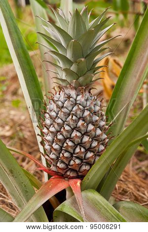 Pineapple Grown In The Vegetable Garden