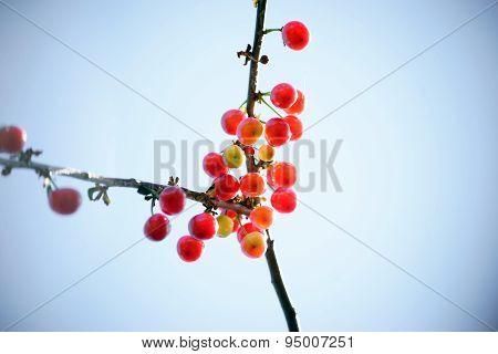 Nearly ripe cherries