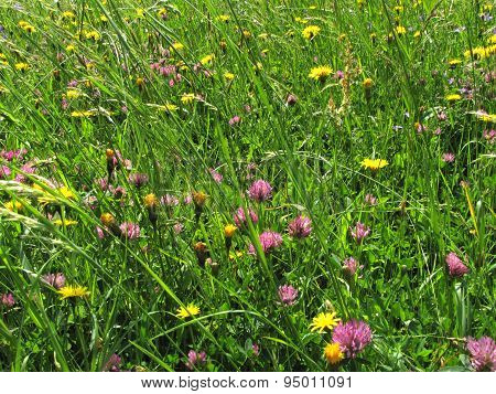 Photo Of Garden - Clovers And Dandelions In High Grass