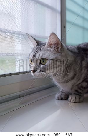 American Shorthair Cat Is  Looking  to outside