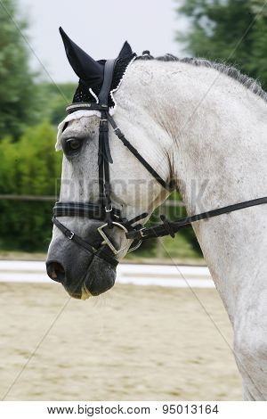 Head shot Of A Grey Dressage Sport Horse In Action