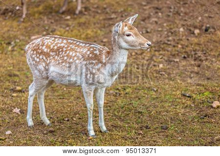 Female Fallow Deer Doe At Park