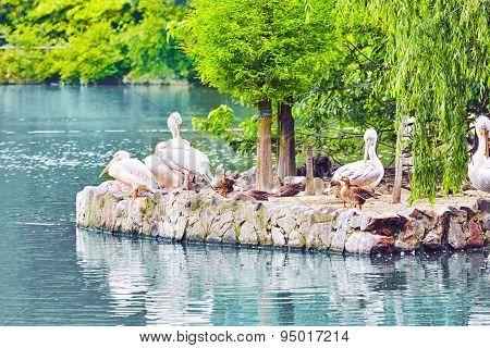 Flock Of American White-pelican's.