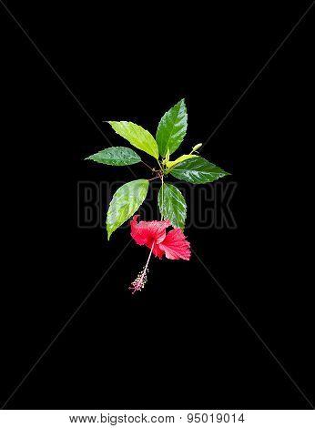 Carmine red hibiscus flower