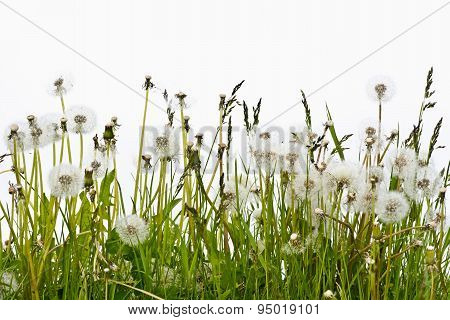 Overblown dandelion flowers on a white background