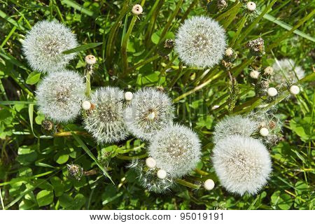 Group overblown dandelion flowers in the spring