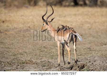 Impala Ram Drink Water From Pond With Risk Of Crocodile