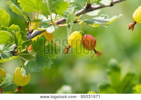 sprig gooseberry. grows ripe gooseberries on a branch