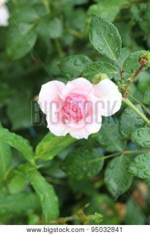 pink rosebud closeup