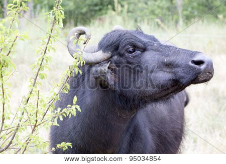 Buffalo In A Dairy Farm