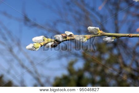Branch Of A Blossoming Pussy Willow