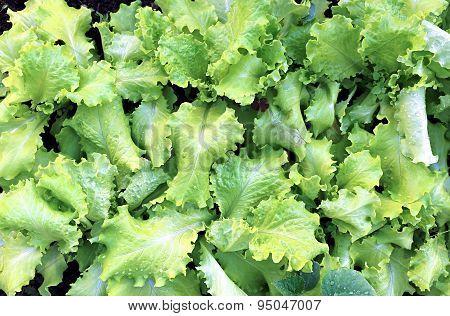 Growing Leaves Lettuce