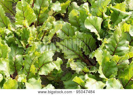 Leaves Of Beet Plants.