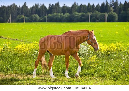 Bay horse on a meadow in a bright sunny day