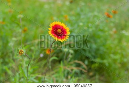 Indian blanket flower in summer garden