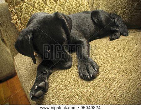 Laborador puppy