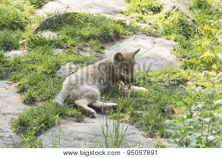 A Lone Timber Wolf in a summer scene