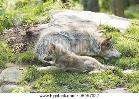 A Timber wolf in summer