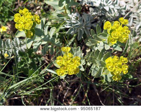 Euphorbia Stepposa Flowers