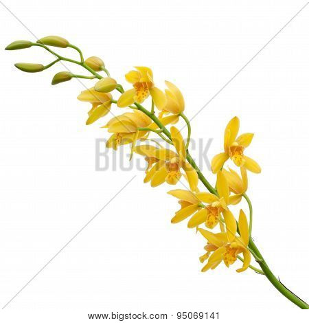 Yellow Dendrobium Orchid On White Background
