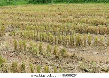 Straw In Rice Paddy Field