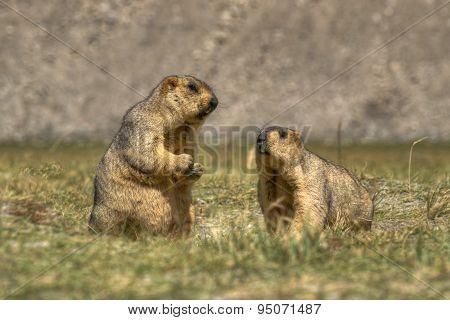 Himalayan Marmots -marmota Himalayana, Pair , Ladakh Wildlife, Jammu And Kashmir, India