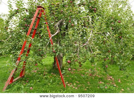Orchard With Ladder To Pick Up Apples