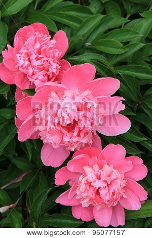 Trio of nature's pink Peonies