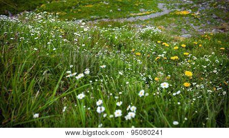 Wild Flowers On Fagaras Mountain, Romania