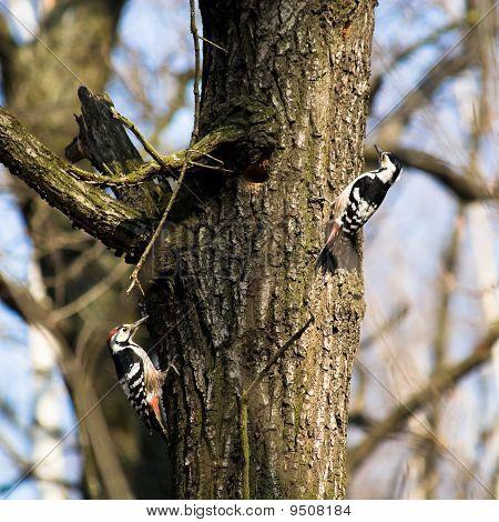 Dendrocopos Leucotos, White-backed Woodpecker