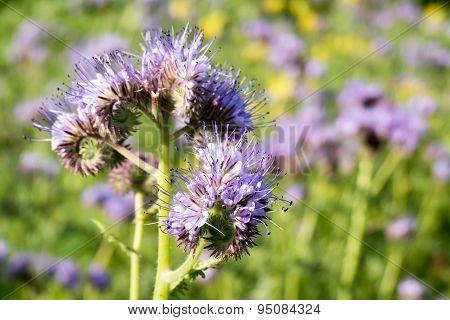 Flowers Of Phacelia.
