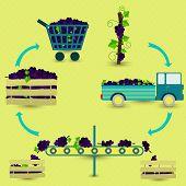 foto of grape  - Grape production steps - JPG
