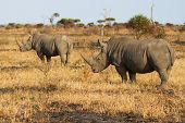 pic of rhino  - Two rhino standing on a open area looking for safety from poachers - JPG