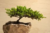 picture of bonsai  - Photograph of a traditional japanese bonsai tree - JPG