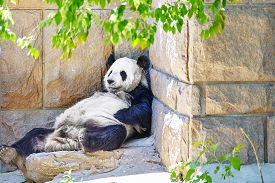 stock photo of panda  - Cute sleeping panda in outdoor on nature - JPG
